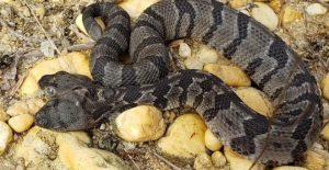 To σπάνιο φίδι με τα δύο κεφάλια που βρέθηκε στις ΗΠΑ — ΣΚΑΪ (www.skai.gr)